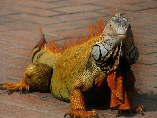Velas Vallarta: The big male iguana onsite