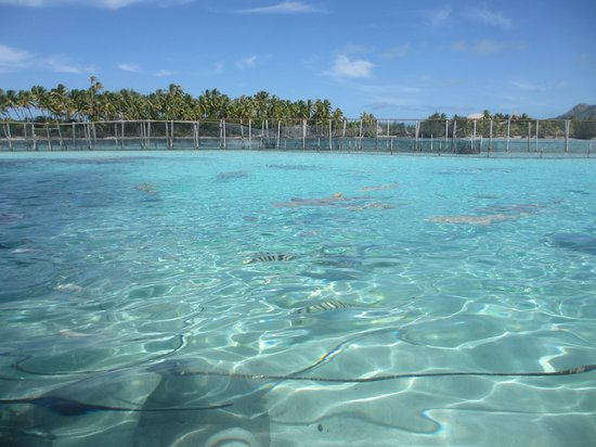 Bora Bora Lagoonarium : Lagoonarium swimming area with sharks