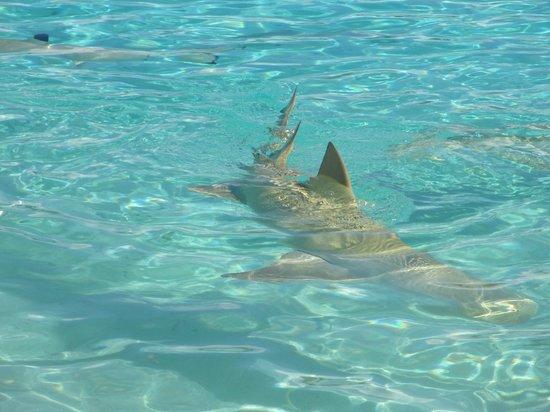 Bora Bora Lagoonarium : reef shark