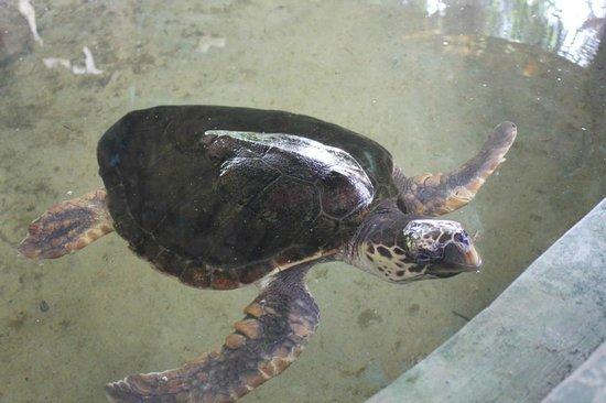 Bentota, Sri Lanka: Another turtle