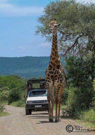 Heritage Day Tours & Safaris : Safari to Hluhluwe Umfolozi Park