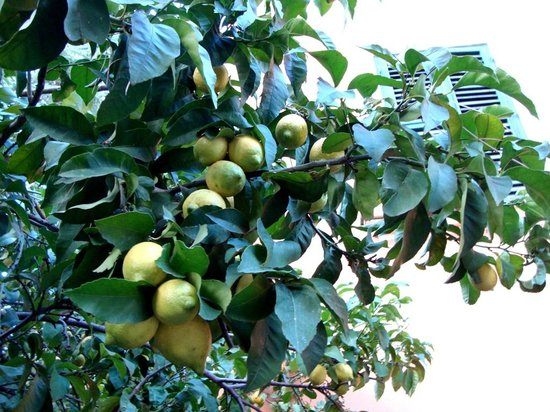Hotel Villa San Pio: Lemons 
