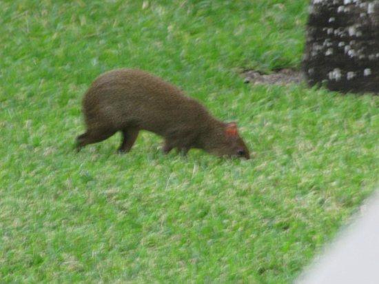 Hotel Riu Palace Riviera Maya: Local rat wandering the grounds