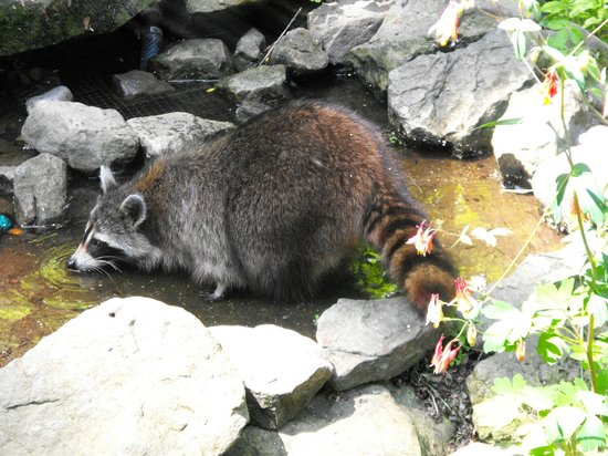 The Wilderness Center: Raccoon at feeder station