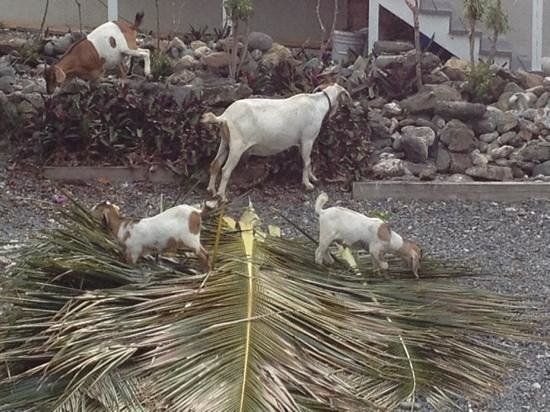 Coconut Coast Villas: Goats visit daily!