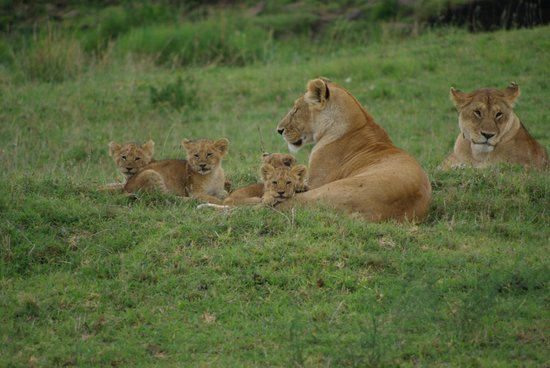 Cruzeiro Safaris : lion cubs in Maasi Mara park