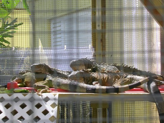 Sirata Beach Resort: The iguanas on the premises