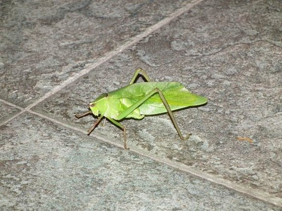 Barcelo Maya Tropical: leaf bug