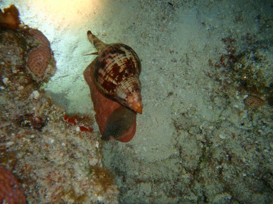 El Pulpo Divers: A tulip out walking around. Earlier it was bothering a conch that was also out walking.