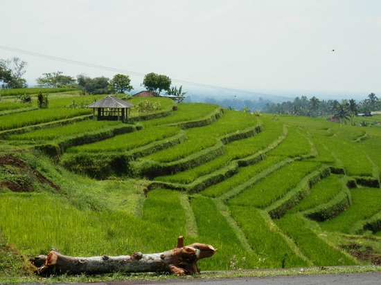 The Zala Villa Bali: Rice fields