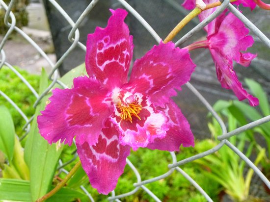 Ecuagenera - Orchids from Ecuador: belleza
