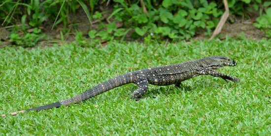 Lace Monitor roaming the grounds of Hibiscus Lodge