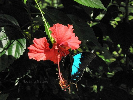 Hibiscus Lodge: Ullysis Butterfly