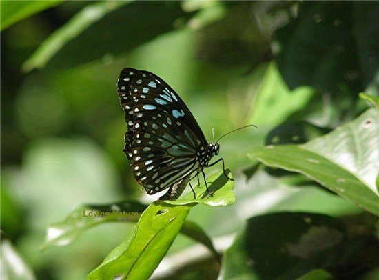 Hibiscus Lodge: Many varieties of butterfly at the Lodge