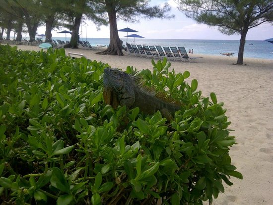 Villas of the Galleon: A friendly iguana poses at the beach