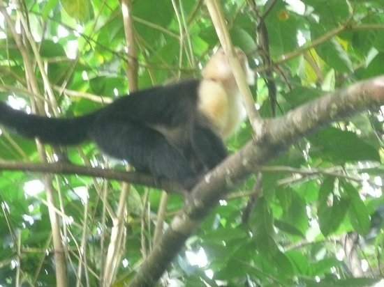 Casa Bambu Resort: Capuchin Monkey