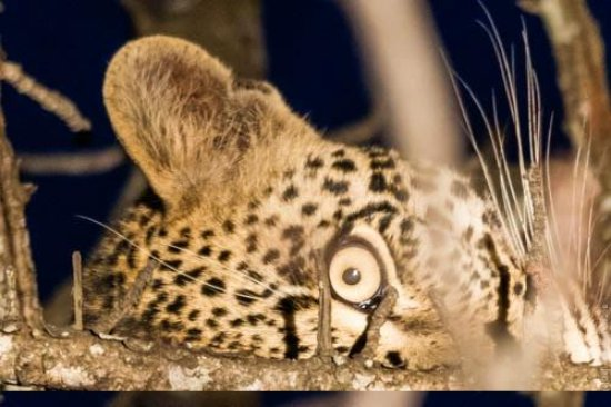 Cheetah Plains:                   He's got his eye on you..