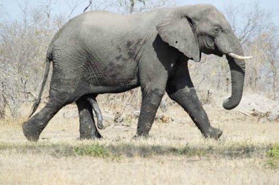 Cheetah Plains :                   Happy Elephant Bull