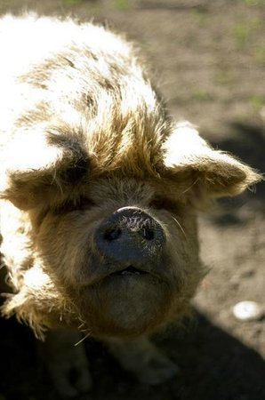 "Castle Hill Lodge B&B: One of the ""so ugly they're cute"" kune kune pigs"