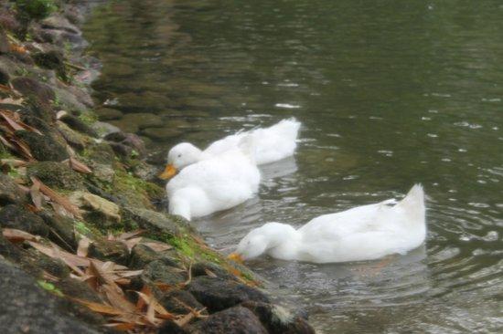 Sentosa Villa: quack...quack....