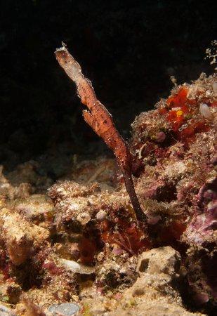 Froggies Divers Bunaken: Poisson Fantôme