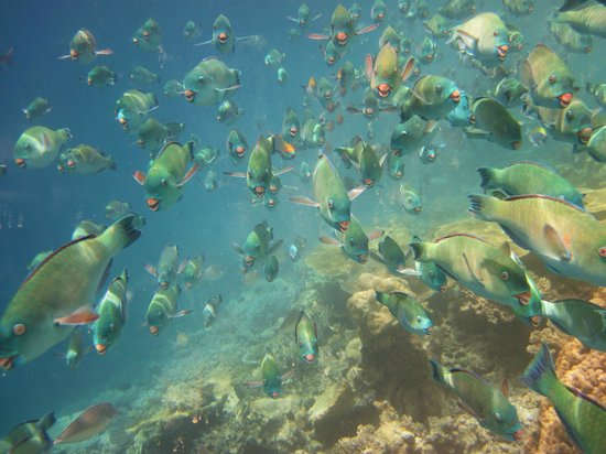 Diamonds Athuruga: Huge school of parrot fish
