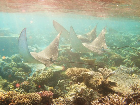 Diamonds Athuruga: Family of eagle rays