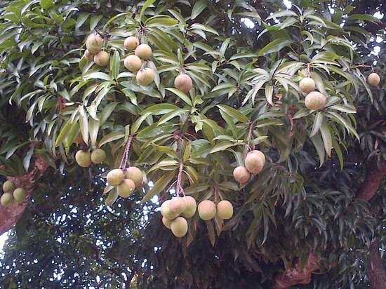 Hippo Hideaway: Mango Tree