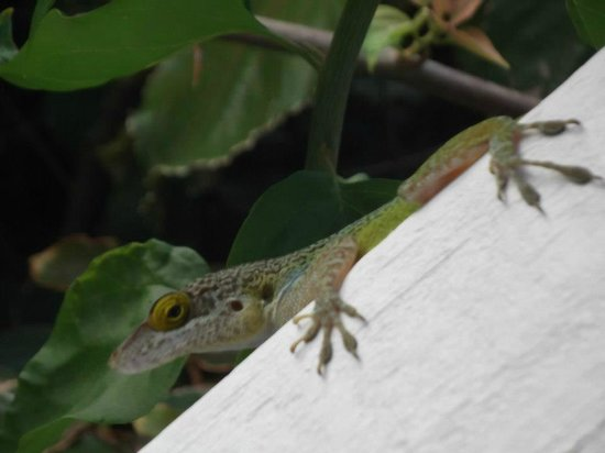 Cocobay Resort: Local lizard