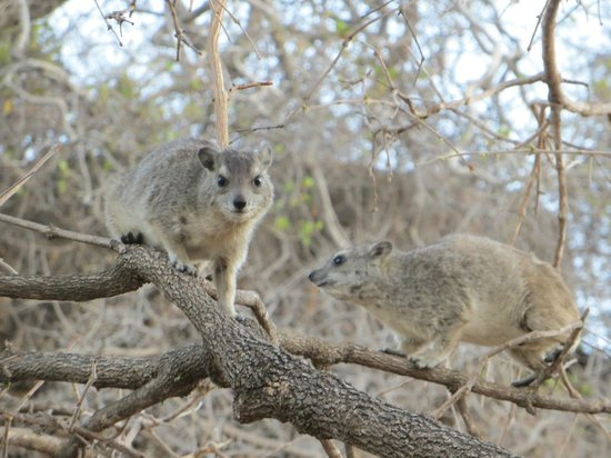 Maweninga Camp: Hyrax around camp