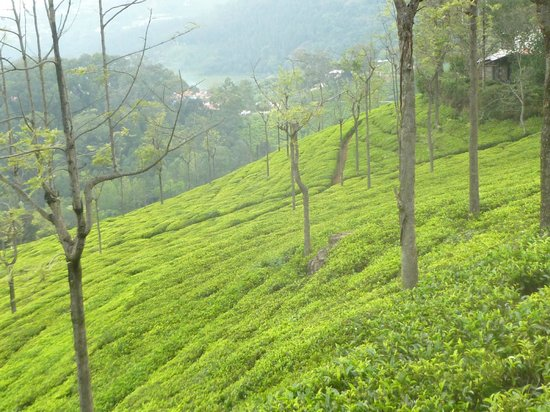 Tranquilitea Farm Stay: tea plantation