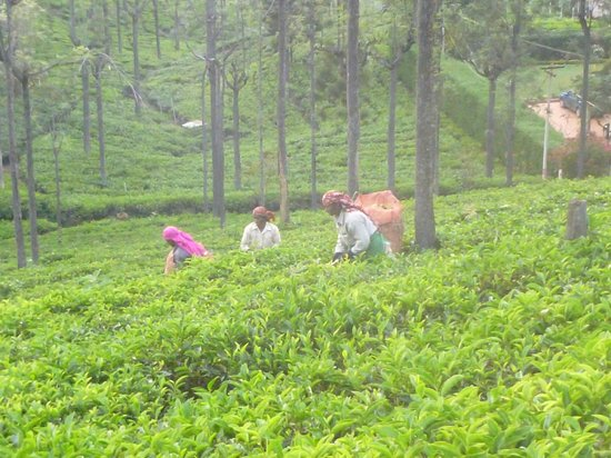 Tranquilitea Farm Stay: Tea picking