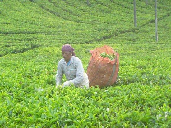 Tranquilitea Farm Stay: Cutting leaves after heavy rain