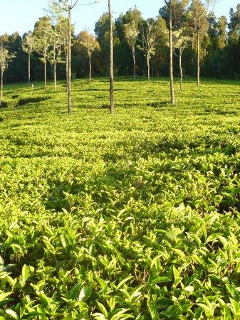 Tranquilitea Farm Stay: tea plantation