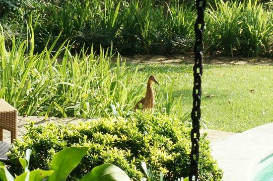 Latitude 10 Beachfront Resort: Tiger Heron walking around the pool