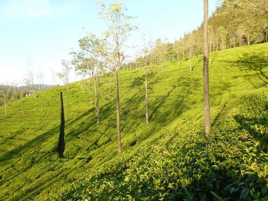 Tranquilitea Farm Stay: Tea plantation in the evening light