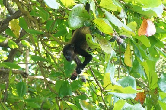 Latitude 10 Beachfront Resort: baby monkey by the pool