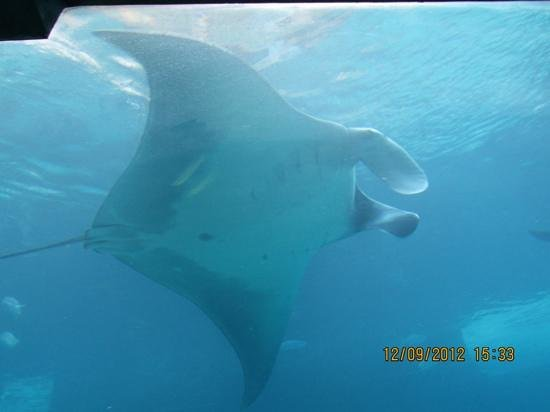 Atlantis, Royal Towers, Autograph Collection: manta Ray in the Ruins