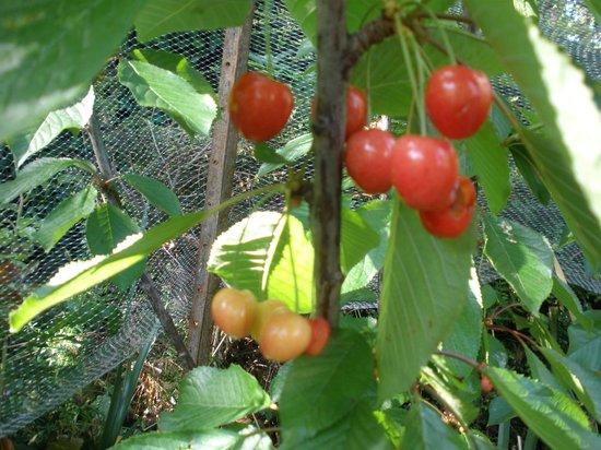 The Elms of Hobart : cherry tree in the garden