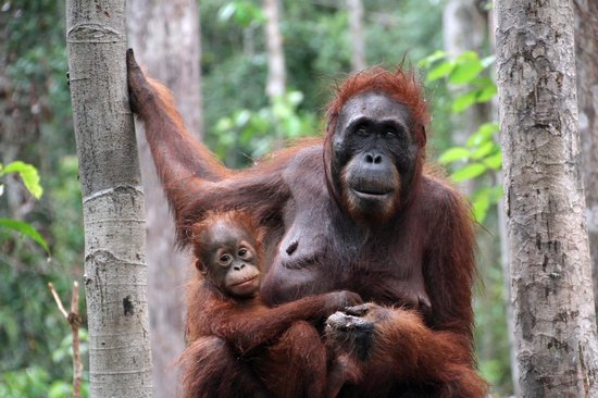 Tanjung Puting National Park: Mother & baby at Camp Leakey