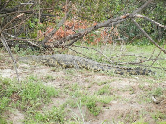 A'Zambezi River Lodge : Crocodile on the banks