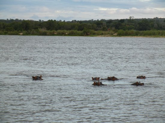 A'Zambezi River Lodge: Hippos on the river