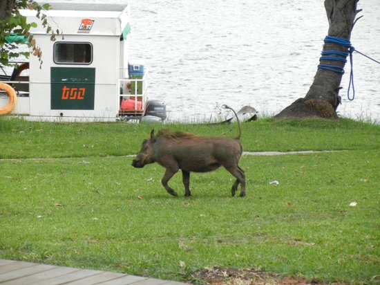 A'Zambezi River Lodge: Warthog running between the dining are and river