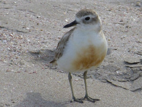 Hahei Horizon Bed & Breakfast : our local Dotterel