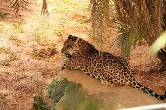 Jardim Zoologico De Brasilia: Linda onça