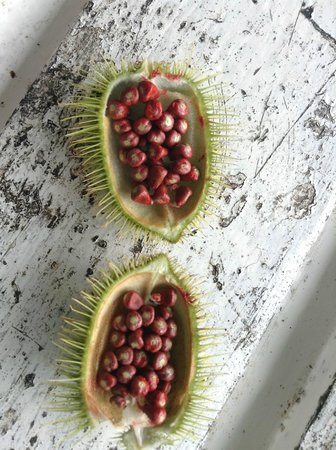 Asa Wright Nature Centre and Lodge: Sample of natta which is eaten by bird - left on veranda for guests to observe