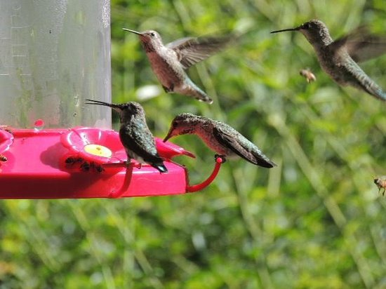 Blackberry Inn at Yosemite: Humming birds