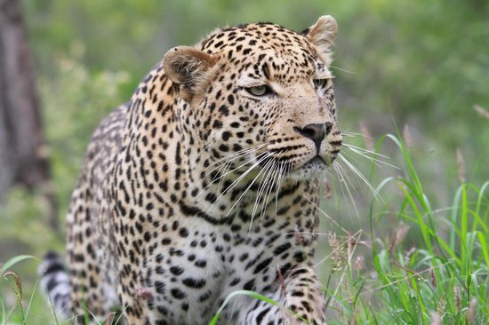 Inyati Game Lodge: Dayone o the prowl