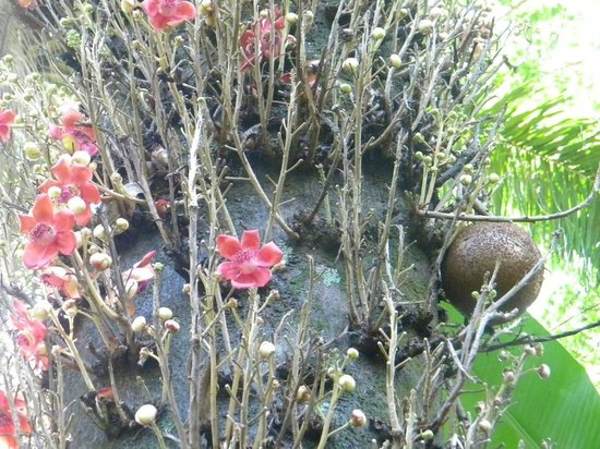 Hawaii Tropical Botanical Garden : Cannon Ball Tree