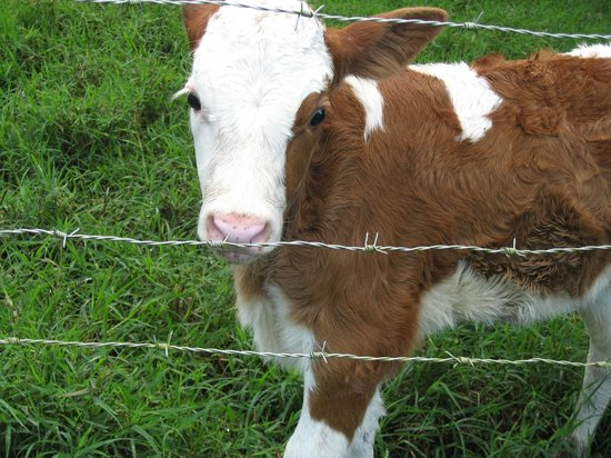 Ecolodge San Luis : Calf on campus